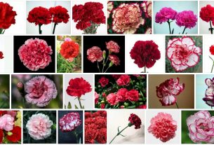 What is Carnation